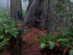 hiker next to a huge redwood trunk