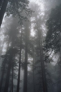 another picture of redwoods in the fog